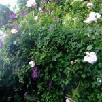 Honungs ros