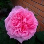 Austin rosen Gertrud Jekell