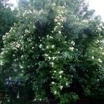Honungs rosen