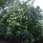 Honungs rosen som klättrar i päron trädet