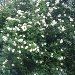 Honungs rosen Helena