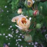 Crown prinsess margaret som håller på att bli uppäten av en larv